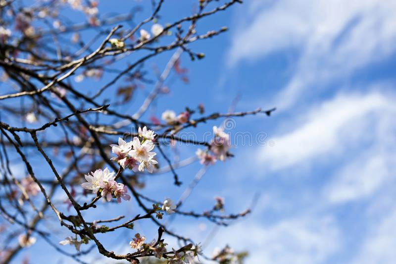Cherry Blossom de Japão (Sakura) com céu azul nubla-se o fundo fotos de stock