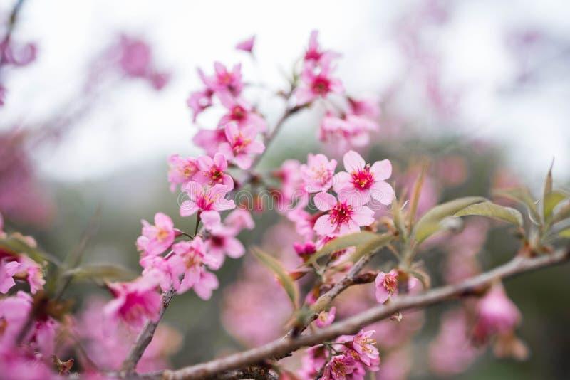 Cherry Blossom dentellent le doi Chang de fleur de Sakura chez Chiang Rai, Thail photographie stock