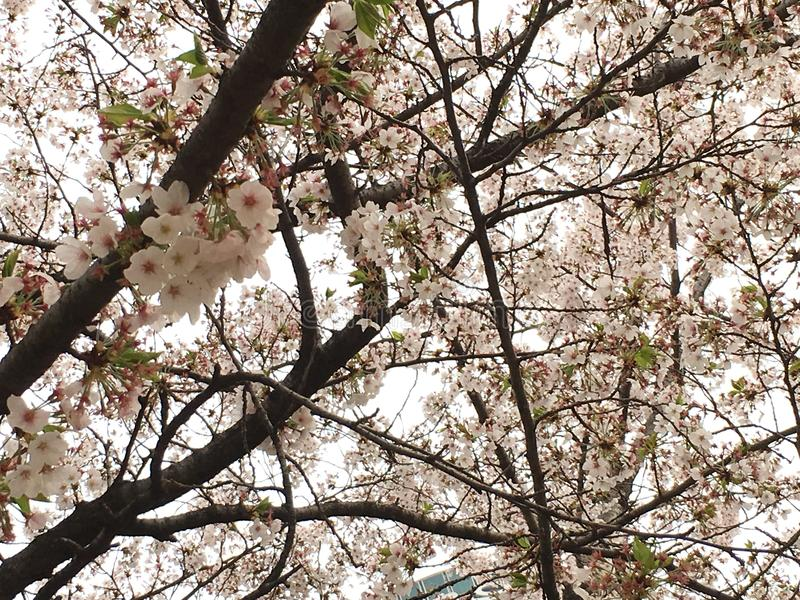 Cherry Blossom deux image stock