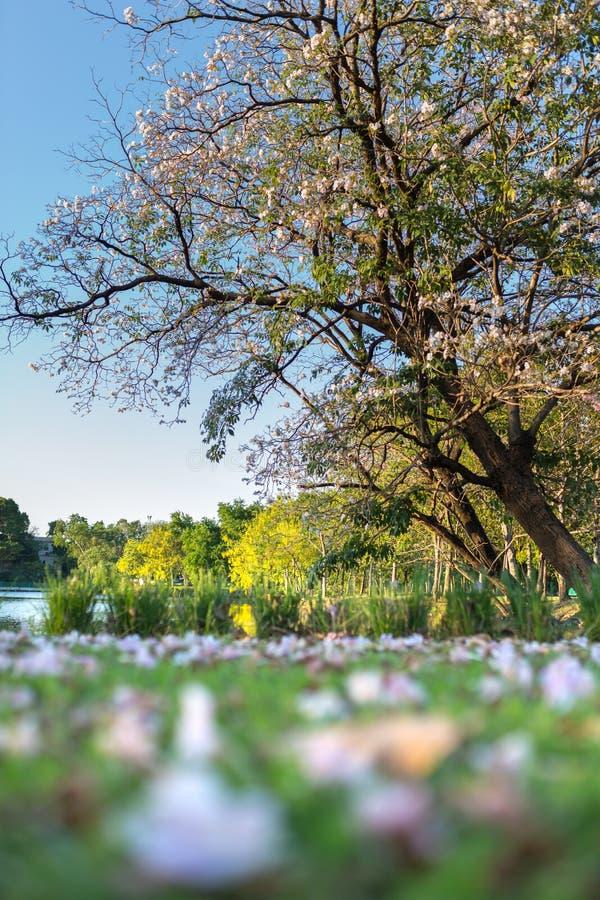 Cherry Blossom e sakura Tailândia contra o backgr claro do céu azul imagem de stock royalty free