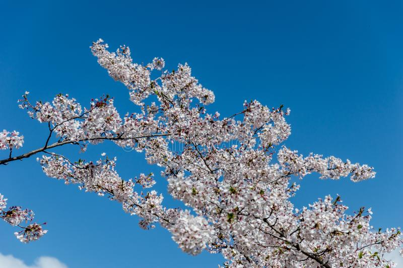 Cherry blossom, EUR, Rome. Cherry blossom in Rome Italy on spring. This is the EUR neighborhood royalty free stock image
