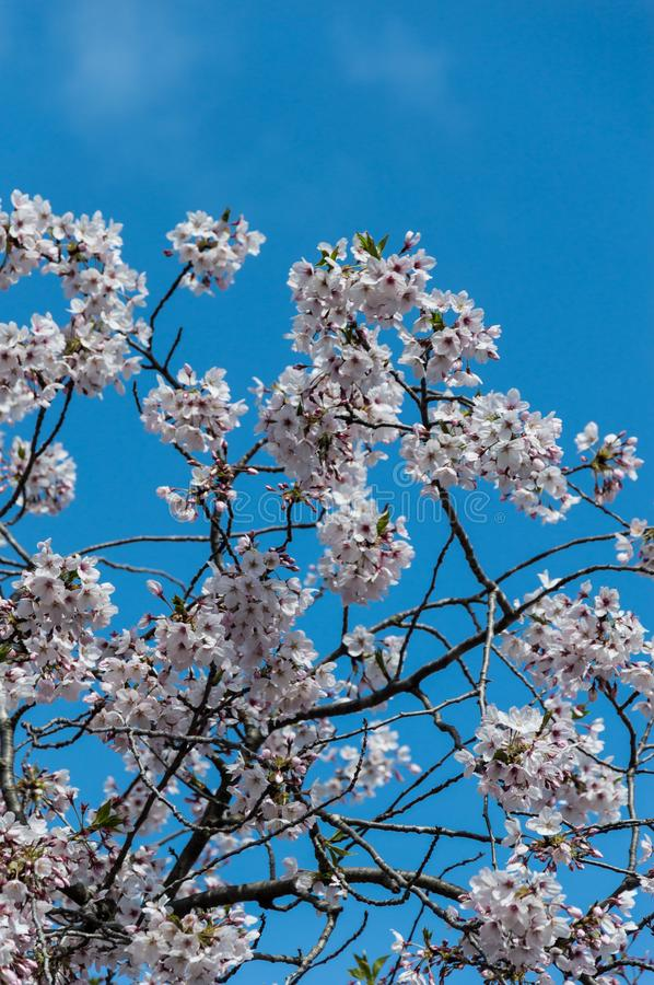 Cherry blossom, EUR, Rome. Cherry blossom in Rome Italy on spring. This is the EUR neighborhood. Blue sky in the background royalty free stock image
