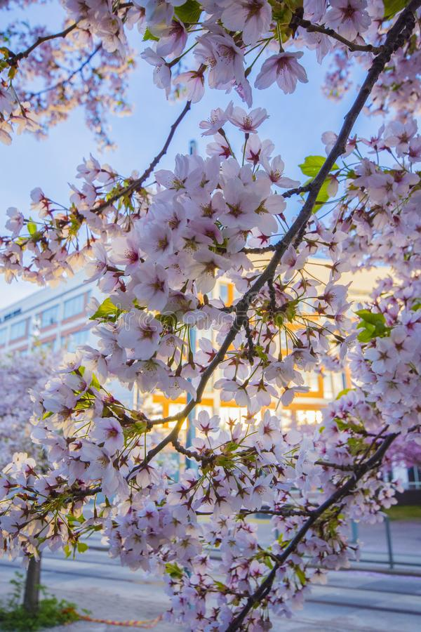 Cherry blossom on the spring in Stockholm city stock images