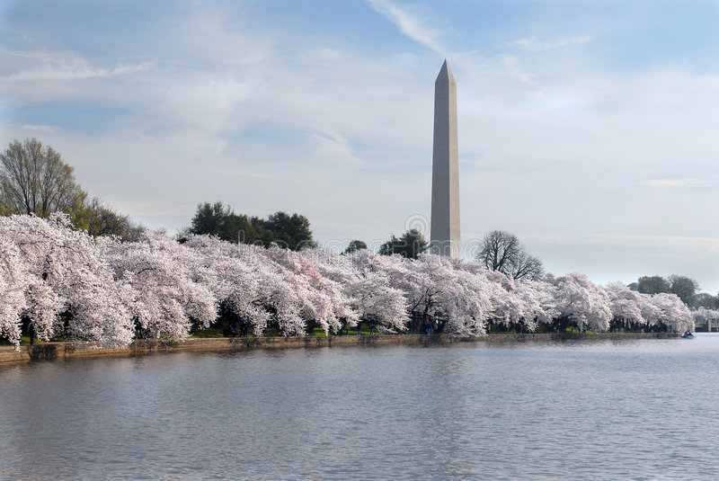 Cherry Blossom Festival stock photo