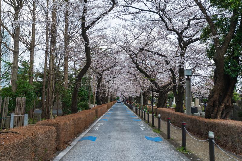 Cherry blossom festival at Aoyama Cemetery. Aoyama Cemetery is a popular spot during spring season. TOKYO, JAPAN - MARCH 29, 2019: Cherry blossom festival at royalty free stock image