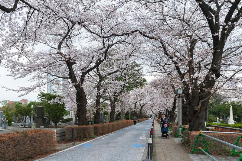 Cherry blossom festival at Aoyama Cemetery. Aoyama Cemetery is a popular spot during spring season. TOKYO, JAPAN - MARCH 29, 2019: Cherry blossom festival at royalty free stock photography