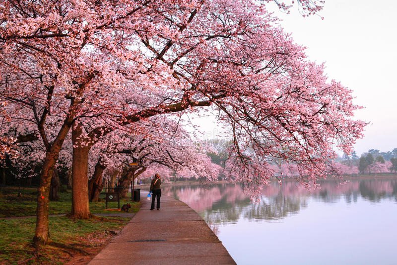 Cherry Blossom Festival Loop Washington DC Editorial Photography