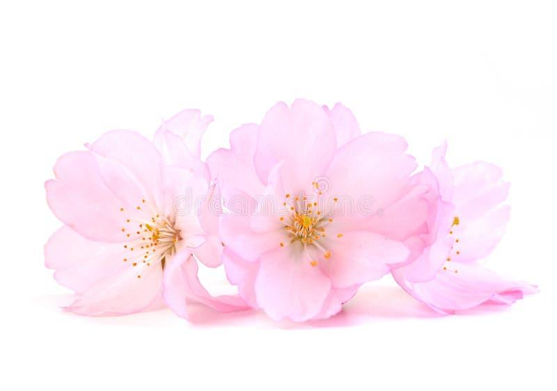 Cherry Blossom Fiori dentellare della sorgente immagini stock libere da diritti