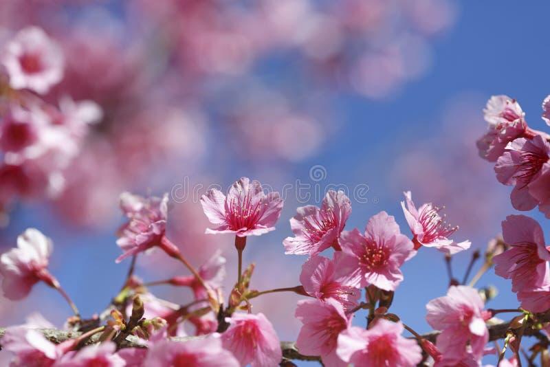 cherry blossom fleurs de sakura image stock   image du