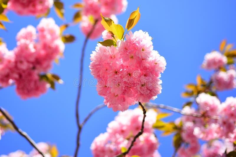 Cherry Blossom Flor da margarida, flores de florescência da margarida no prado Cereja-árvore de Sacura Sumário floral bonito da m imagem de stock royalty free