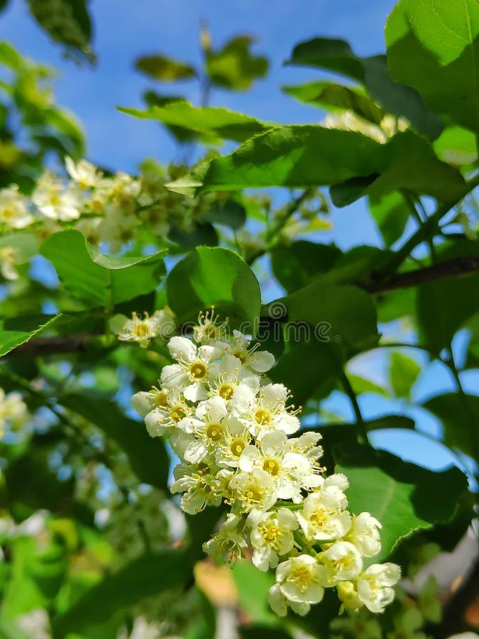 Cherry Blossom fotos de archivo