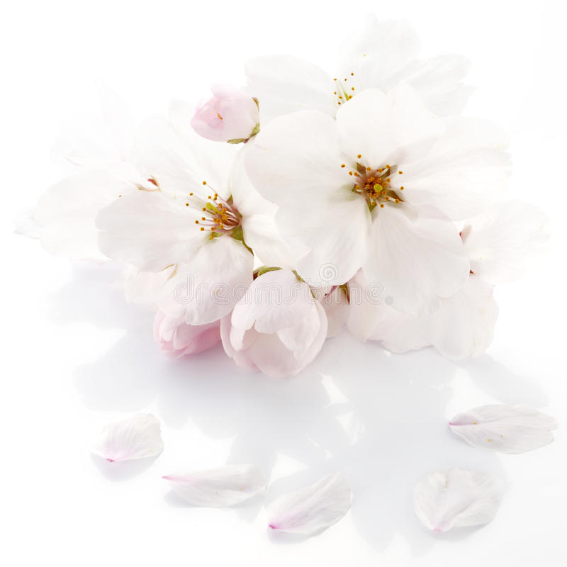 Cherry blossom flower royalty free stock photography