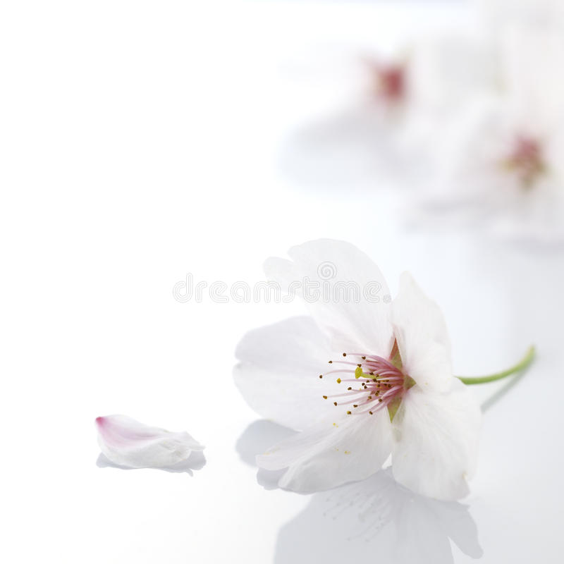 Download Cherry blossom flower stock image. Image of garden, tenderness - 21886583