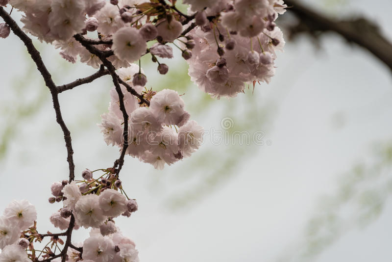 Cherry Blossom. It is a flower of Asian origin, known as 'Sakura', the national flower of Japan, which are documented more than 300 varieties of cherry trees stock images