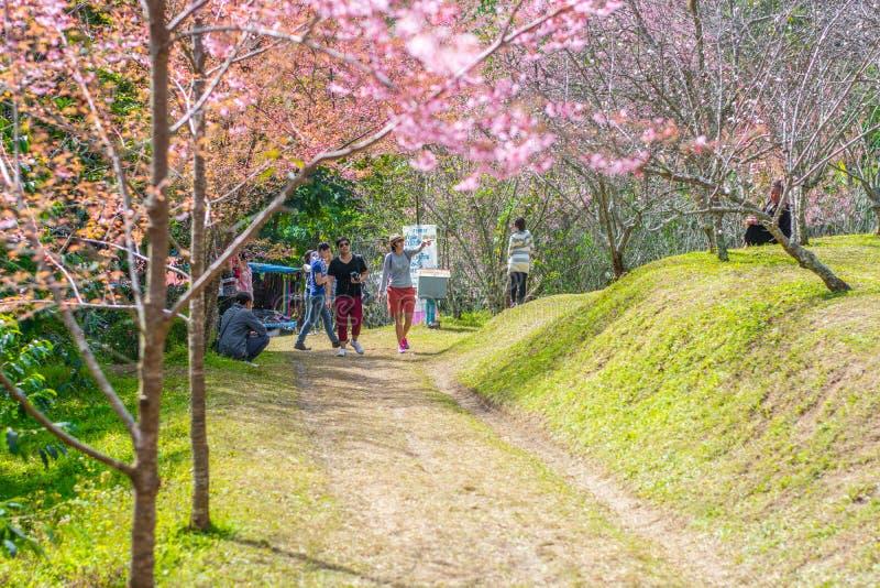 Cherry Blossom Flower Khun Chang Kian imagen de archivo libre de regalías