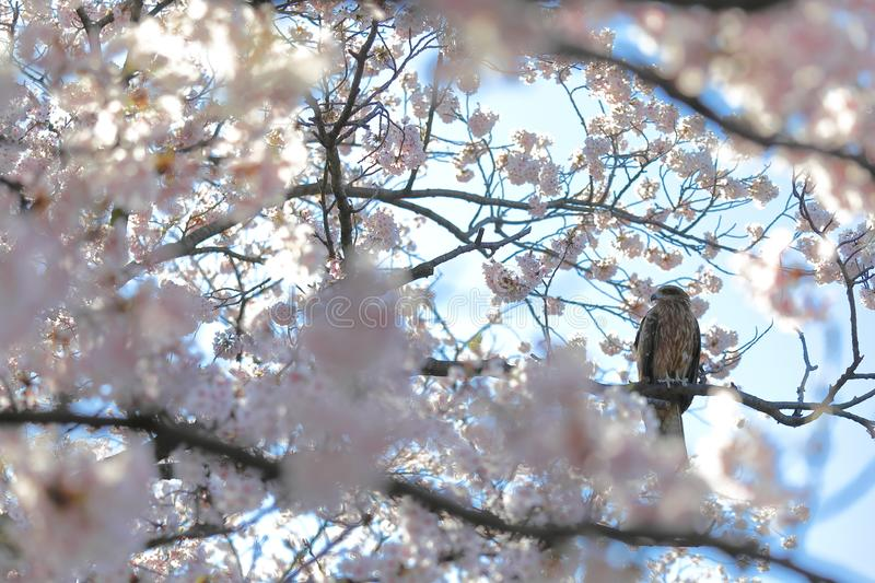 Cherry blossom flower nature with wild hawk bird background stock photography