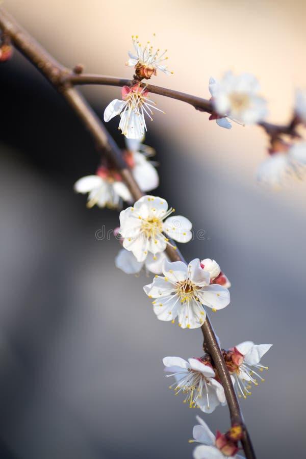 Cherry Blossom Flowers bianco su un ramo in primavera fotografie stock libere da diritti
