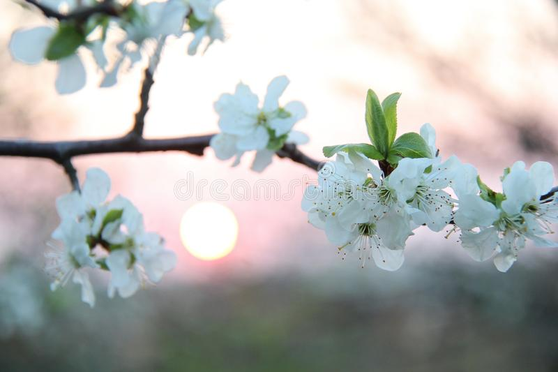 Cherry Blossom Flowers bianco sul ramo al tramonto fotografia stock