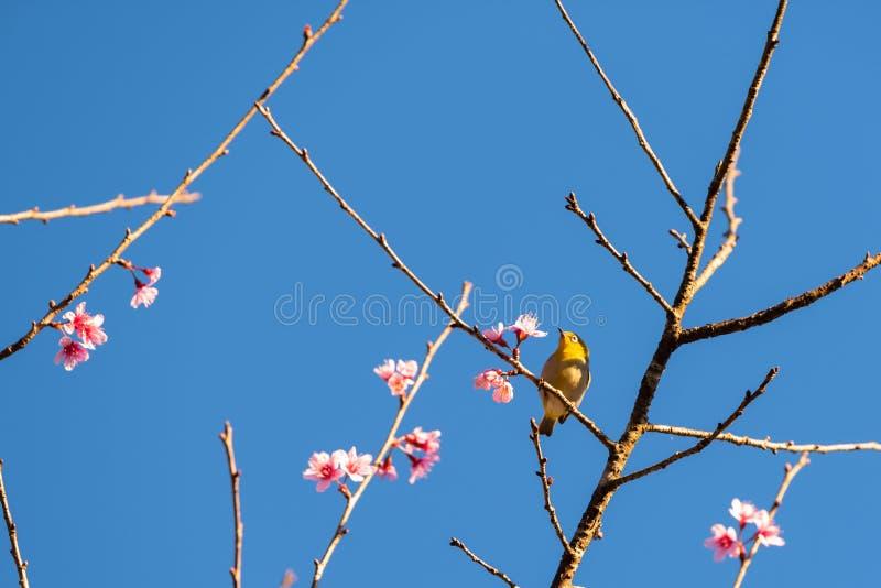 Cherry blossom flowers and yellow bird on tree stock image