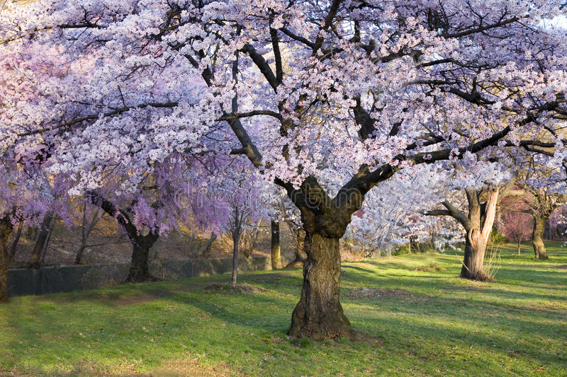 Cherry Blossom Forest stock photography
