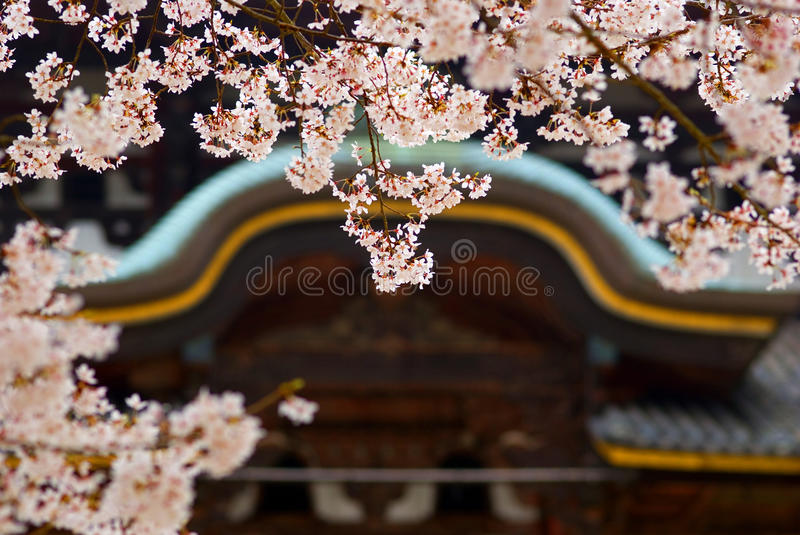Cherry blossom in front of Todai Temple, Nara, Japan royalty free stock photography