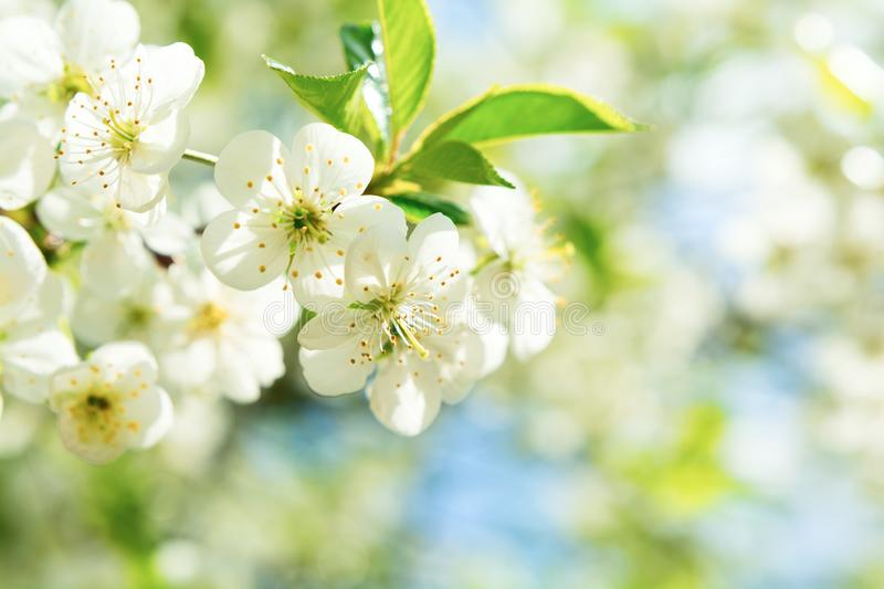 Cherry blossom in full bloom. Spring background. Copy space.  royalty free stock image