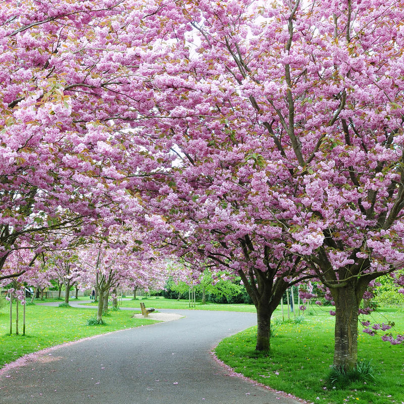 Cherry Blossom in a Garden royalty free stock photo