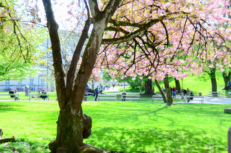 Ordinaire Download Cherry Blossom In Gardent Stock Image. Image Of Flora   95908573