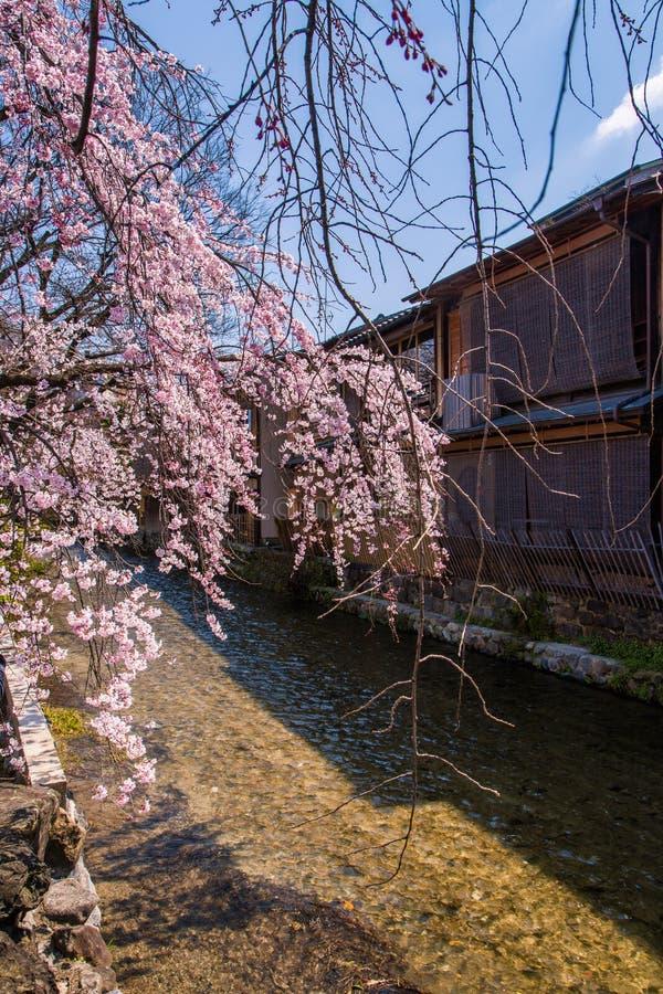 Cherry blossom in historic gion shirakawa district, Kyoto, Japan stock images
