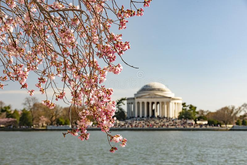 Cherry Blossom i Washington DC - Thomas Jefferson Memorial royaltyfri foto