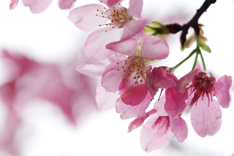 Cherry Blossom Isolate With White Color Royalty Free Stock Images