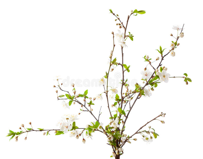 Cherry in blossom stock photography