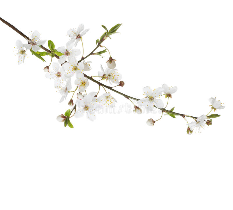 Cherry in blossom. royalty free stock photography