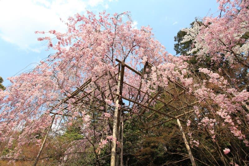 Cherry Blossom japón fotos de archivo