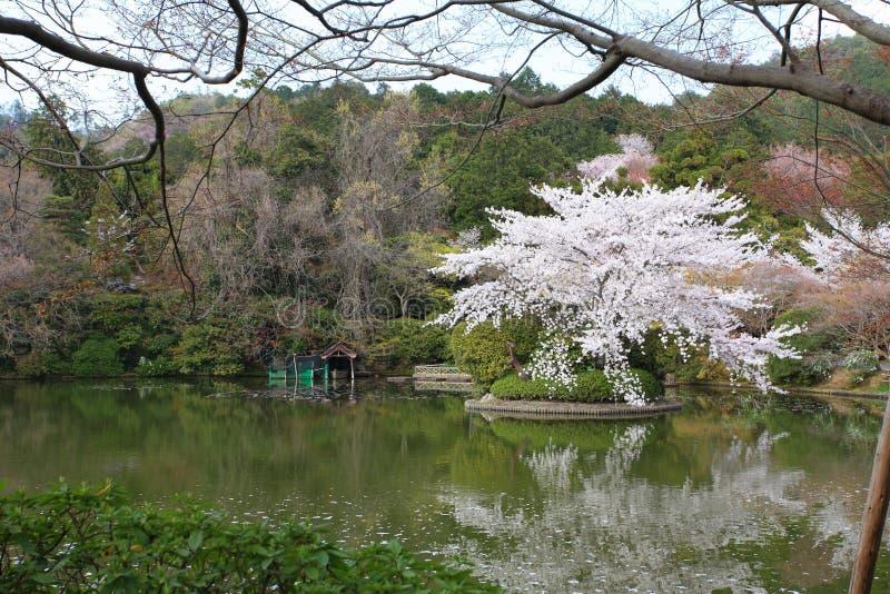 Cherry Blossom japón fotografía de archivo libre de regalías