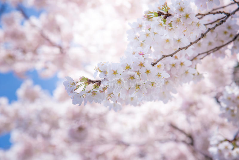 A cherry blossom in Japan called Sakura blooming on its branch in Spring stock photography