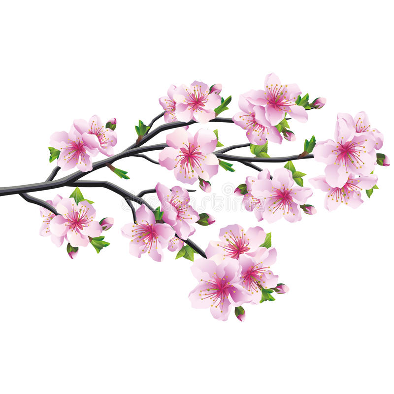 Cherry blossom, japanese tree sakura. Cherry blossom pink - violet, Japanese tree sakura isolated on white background. Vector illustration