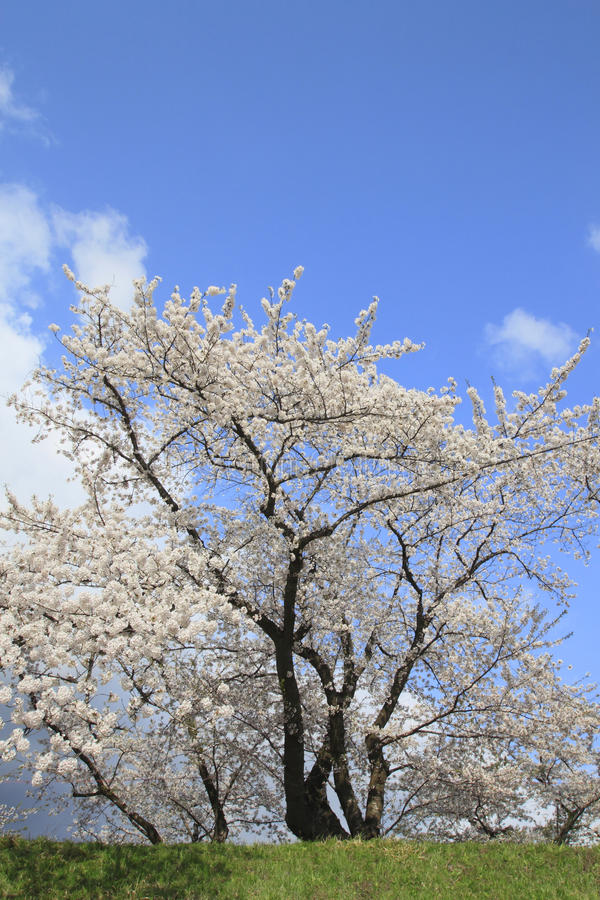 Cherry blossom in Kakunodate stock photography