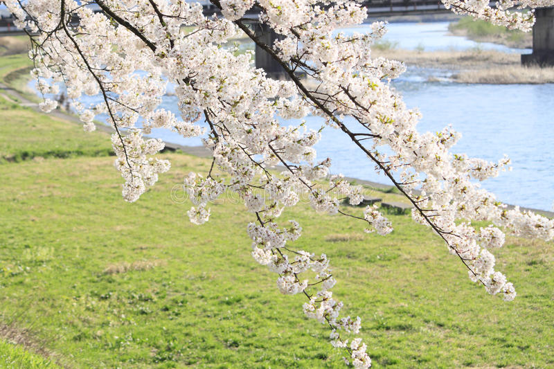 Cherry blossom in Kakunodate royalty free stock photography