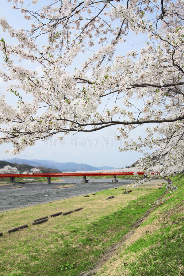 Cherry blossom in Kakunodate royalty free stock image
