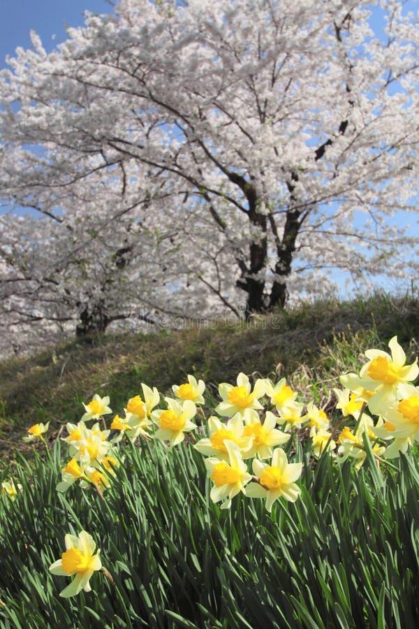 Download Cherry Blossom  In  Kakunodate Stock Photo - Image: 24617396