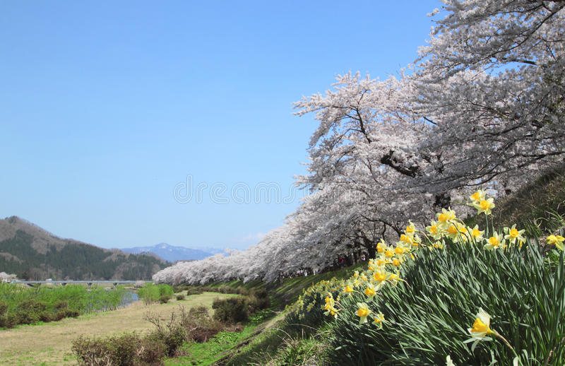Cherry blossom in Kakunodate royalty free stock images