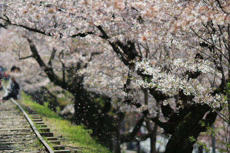 Cherry Blossom at Keage incline, Kyoto in Japan. The Cherry Blossom at Keage incline, Kyoto in Japan stock photos