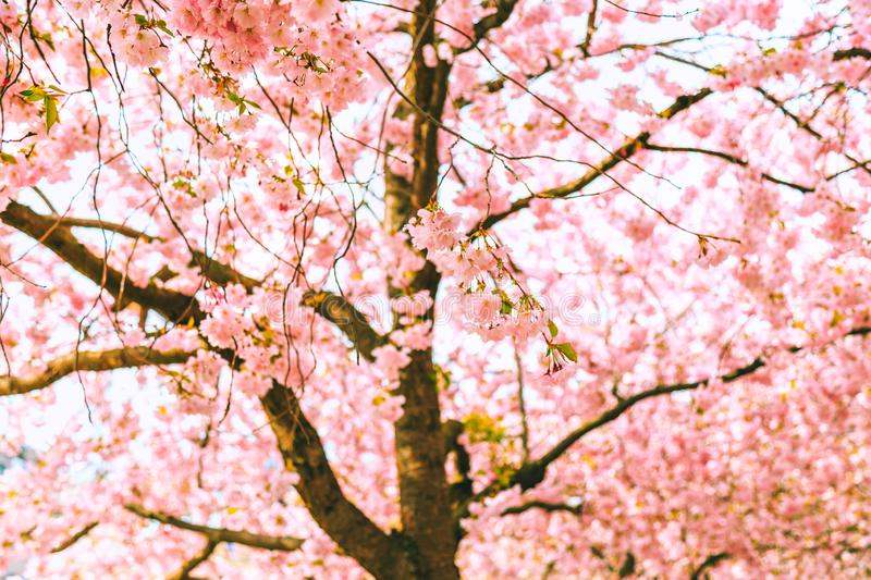 Cherry tree blooming. Spring background. royalty free stock photo