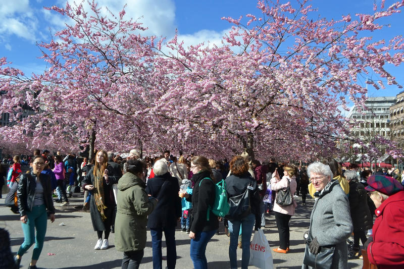 Cherry blossom in Kungstradgarden. royalty free stock photography