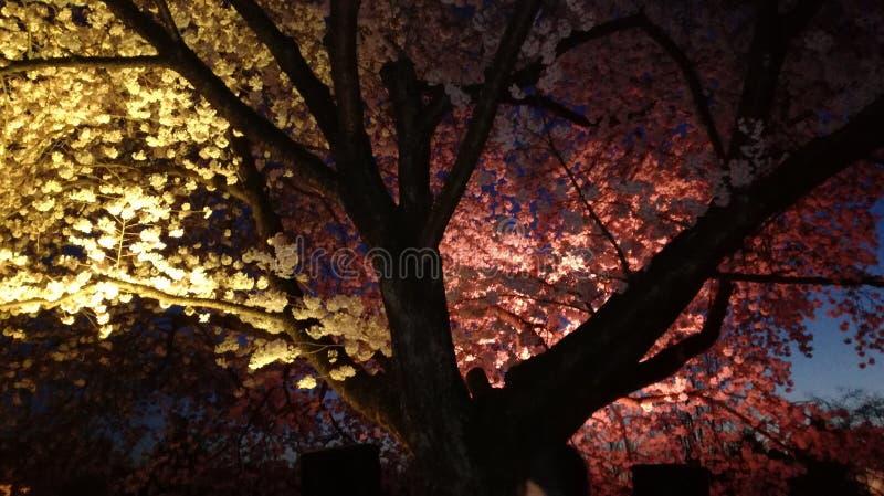 Cherry Blossom Light Show 1 lizenzfreie stockfotos