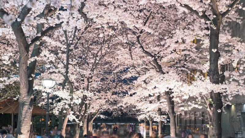 Cherry Blossom Light Up, Gion Shirakawa in Gion District del reparto di Higashiyama, Kyoto, Giappone fotografia stock