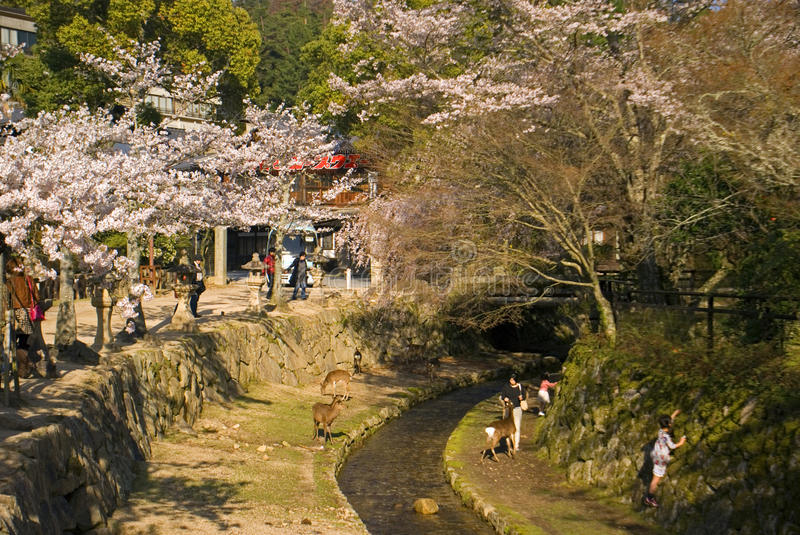Cherry blossom, Miyajima, Japan. Cherry blossom at April 1, 2014 in Miyajima, Japan. Miyajima is a sacred island in japan, it is particularly beautiful during stock images