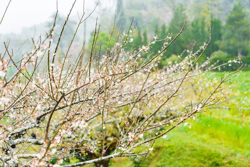 Cherry Blossom in the morning, Blooming Pink Japanese Sakura stock photo