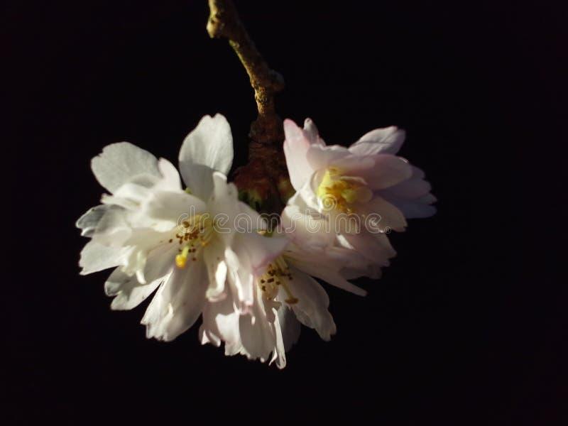 Cherry Blossom Motif sur le noir photo stock